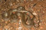 EC Pythonoidea Pythonidae Liasis olivaceus Olive Python