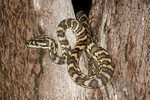 EC Pythonoidea Pythonidae Morelia spilota variegata Northern Carpet Python